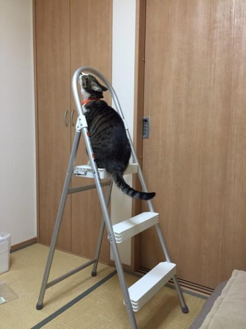脚立に登る好奇心旺盛な猫ーゆきお