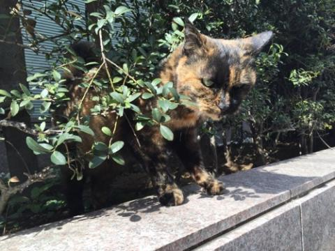 ビル前の植木から現れた茶色の野良猫-東京都港区新橋6丁目