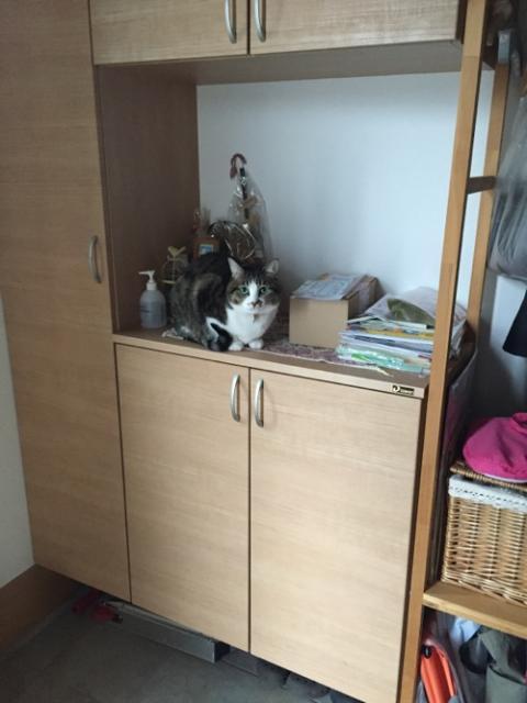 玄関の下駄箱の上に座る猫-ゆきお