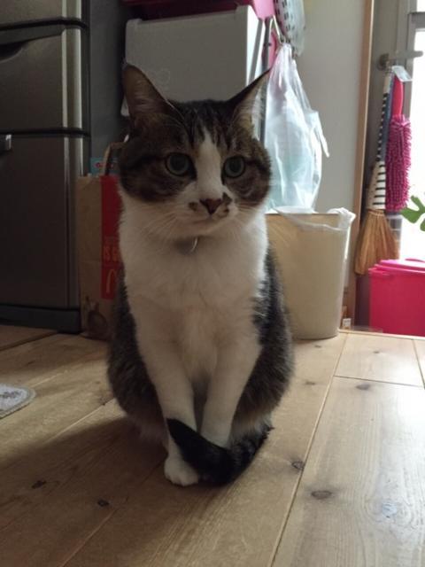 前脚の前で尻尾をくるんと巻くかわいい猫-ゆきお