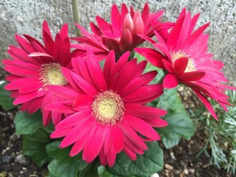 自宅の庭に咲く赤いガーベラが綺麗
