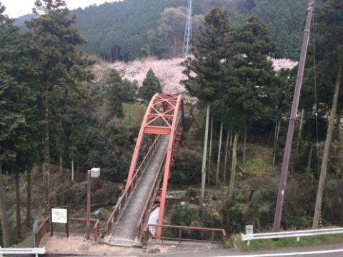 愛媛県西条市の本谷公園で満開の桜、土筆(つくし)、数百数千のおたまじゃくしの群れを眺める