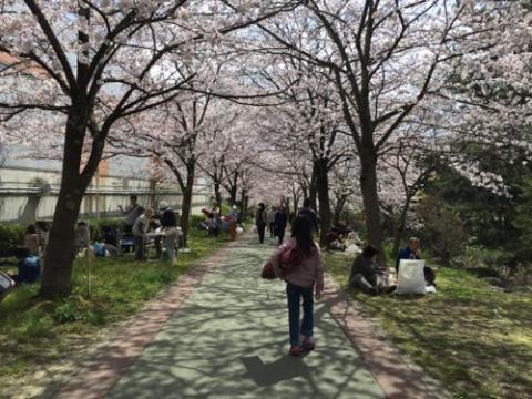 松山市の石手川沿いの桜でお花見をした