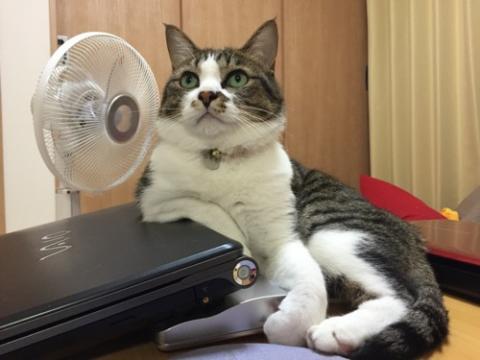 ノートパソコンVAIOに右腕を乗せておっさん座りをする猫-ゆきお