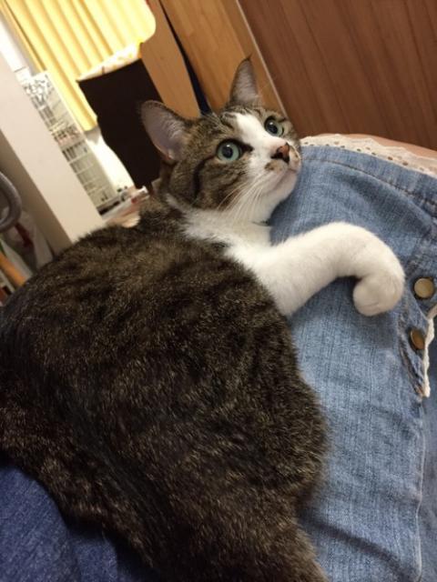 妻のジーパンの膝上で前脚をくねっとして可愛らしく見上げる猫-ゆきお