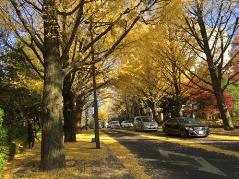 宮城県庁前のイチョウの黄葉、落葉が綺麗