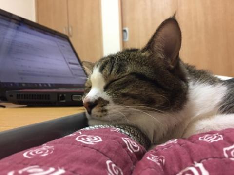 コタツテーブルの端近くのコタツ布団に顎を乗せて眠る猫-ゆきお