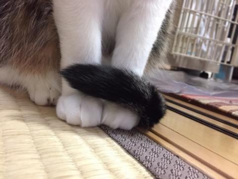 両前足に尻尾をくるんと巻きつける猫-ゆきお