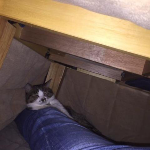 コタツの中で妻の足の上に体をのせて眠る猫-ゆきお