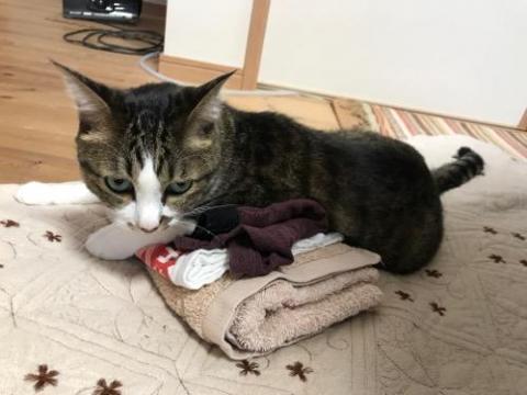 パンツの上にまたがったり、パンツを枕にしたりする猫-ゆきお