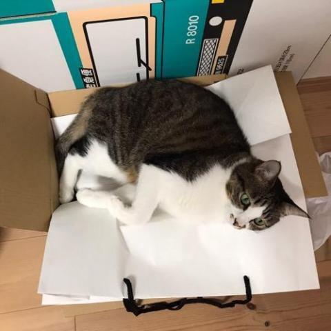 コムサの白い紙袋の上で横になって泣きそうな目をしている猫-ゆきお