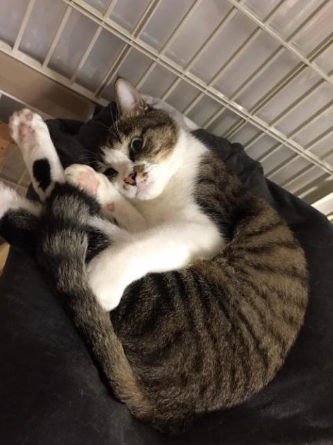 猫ケージの寝床で丸まって怖い顔で見つめてくる猫-ゆきお