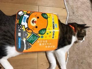 えひめ国体のタオルハンカチを体に乗せられて横たわる猫-ゆきお