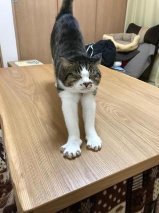コタツテーブルの上で爪を出しながら伸びをする猫-ゆきお