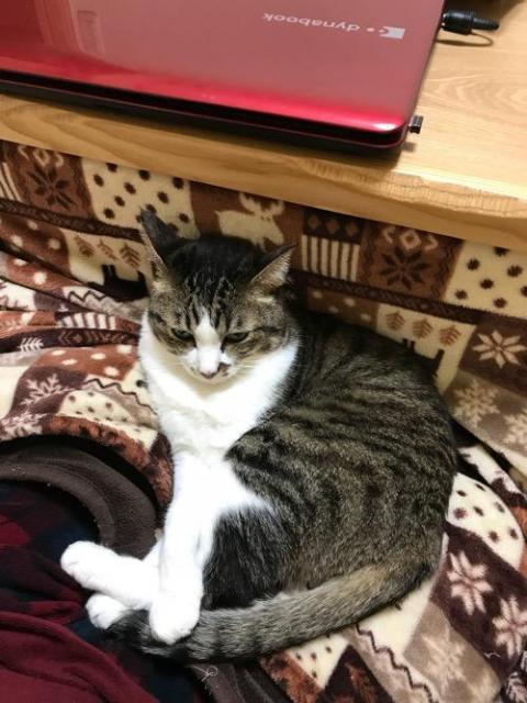 こたつでパソコン作業をする飼い主の膝の上に座る猫-ゆきお