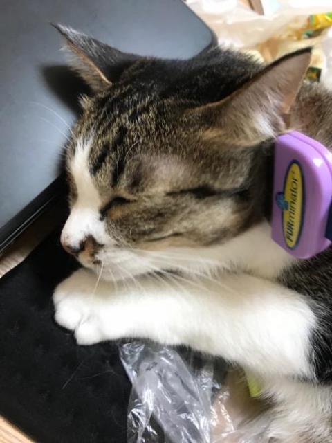 高級猫ブラシ ファーミネーターでブラッシングをされる猫-ゆきお
