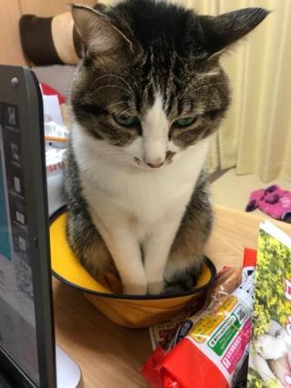 小学生女子の黄色い帽子の中でお行儀良くエジプト座りをする猫-ゆきお