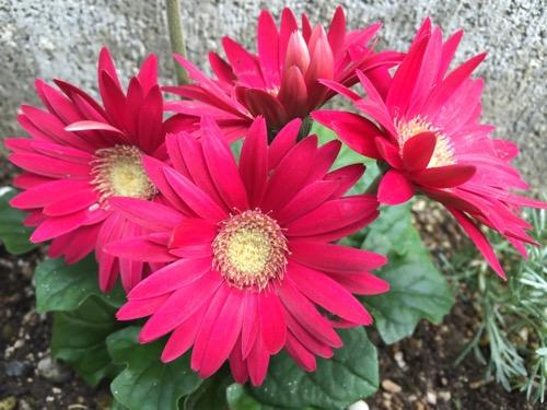 自宅の庭に咲く綺麗な赤いガーベラの花