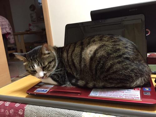 東芝Dynabookのノートパソコンのキーボードの上に座る猫-ゆきお