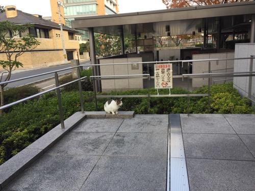 岡山県立図書館駐輪場前のスロープ近くで座る白くて丸々した猫