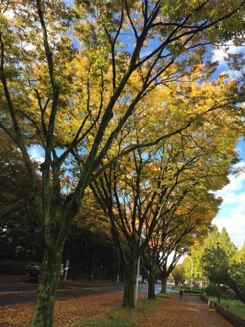 愛知県環境部南側の道に並ぶ美しく紅葉した木々