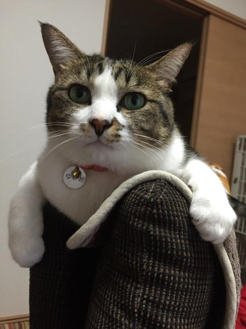 ソファーの背もたれの上でくつろぐ猫ーゆきお(正面より)