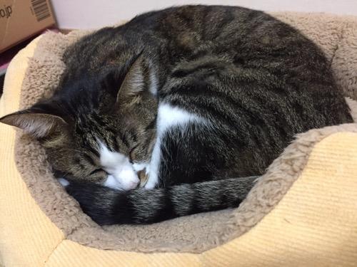 猫ベッドの上で巻貝ように丸まって幸せそうな顔で眠る猫-ゆきお