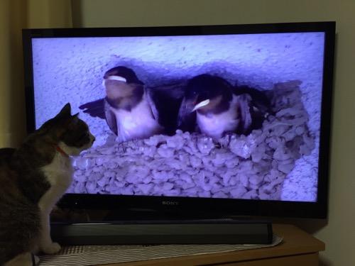 テレビの目の前でツバメのヒナの動画を食い入るように見る猫-ゆきお
