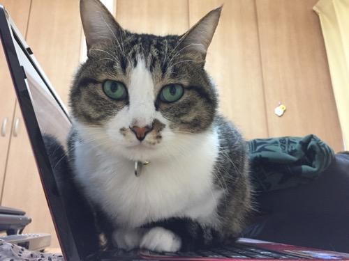 ノートパソコンのキーボードの上に容赦なく乗る猫-ゆきお(正面より)