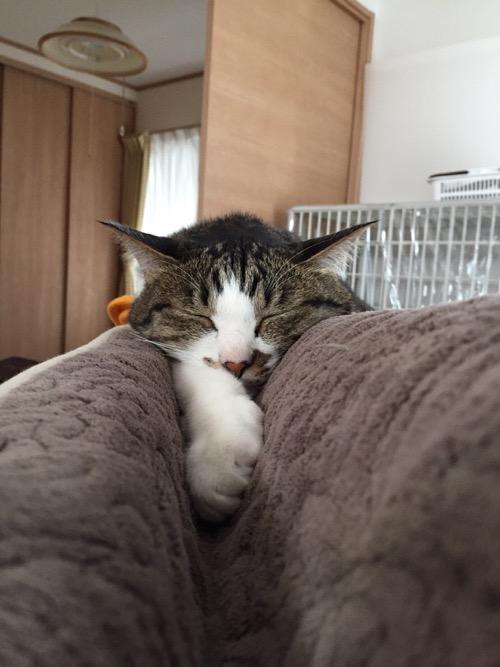 ソファーの背もたれ上部のくぼみで前脚を伸ばしながら眠る猫-ゆきお
