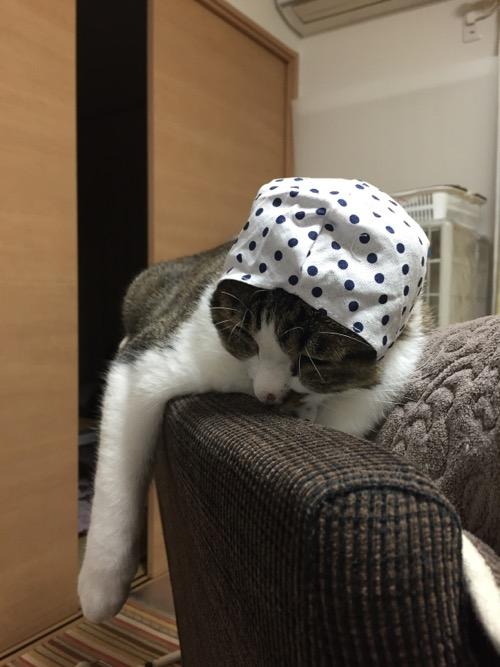 かわいい かわいい ねこ泥棒の「豆絞り/あお」を頭に被せられてうなだれる猫-ゆきお
