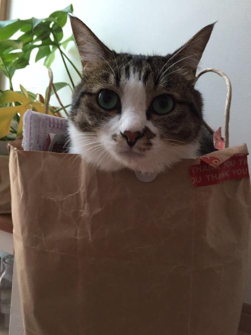 紙ゴミの入った紙袋の中から顔を出す猫-ゆきお(こちらを向いて耳がピーンと立つ!)