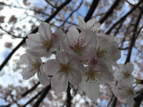 セブンスター石手店の隣の石手川沿いの桜の花(2016年4月2日現在)