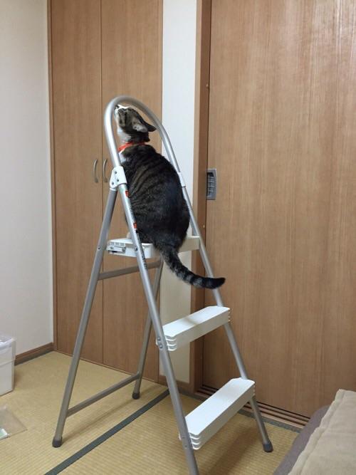 脚立に登る猫ーゆきお