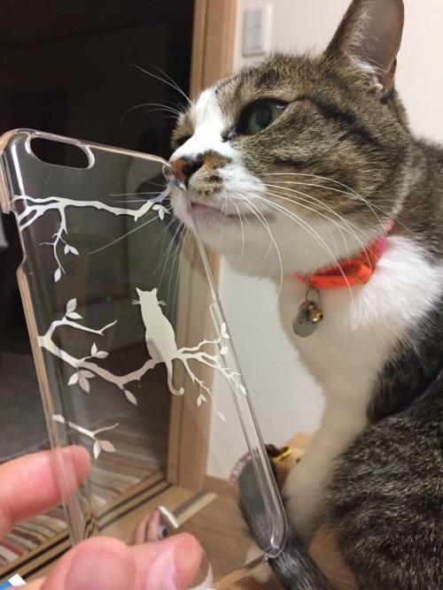 ELECOMの猫柄のiPhone 6用透明ケースに鼻をこすりつける猫-ゆきお
