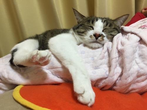 座椅子の上で眠る10歳の娘の膝に顎を乗せて前脚を突き出して眠る猫-ゆきお