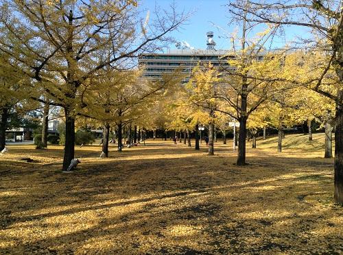 熊本県庁前の銀杏並木(正門側より庁舎側を眺めた風景)