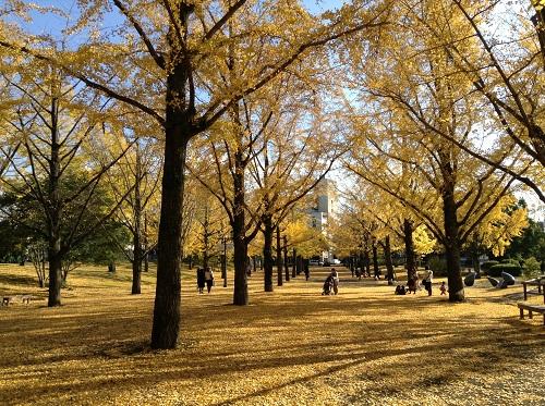 熊本県庁前の銀杏並木(庁舎側より正門側を眺めた風景)