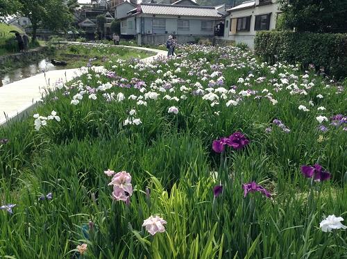 新谷花菖蒲園(愛媛県大洲市新谷町甲5)「しょうぶまつり」(綺麗な菖蒲がたくさん咲いている)
