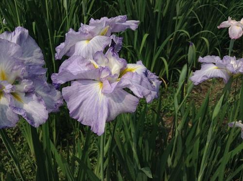 新谷花菖蒲園(愛媛県大洲市新谷町甲5)「しょうぶまつり」会場で咲く紫色の菖蒲