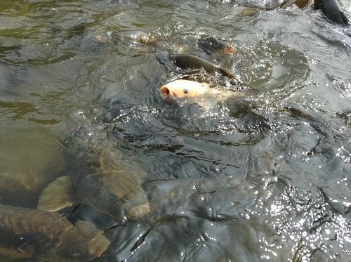 新谷花菖蒲園(愛媛県大洲市新谷町甲5)「しょうぶまつり」会場の目の前にある川に生息する野生の鯉