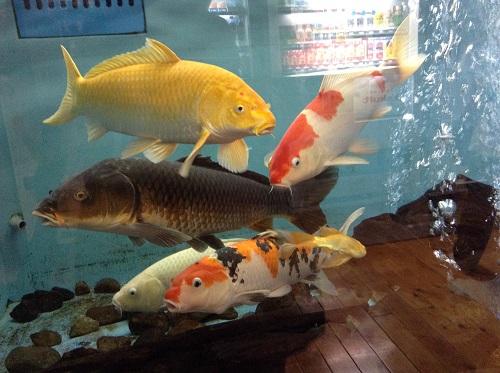 道の駅「津島やすらぎの里」(愛媛県宇和島市津島町高田甲830-1)の水槽内を泳ぐ鯉たち