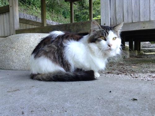 大谷池(愛媛県伊予市南伊予)の「大谷池築造殉職者供養塔入口」付近で座る野良猫
