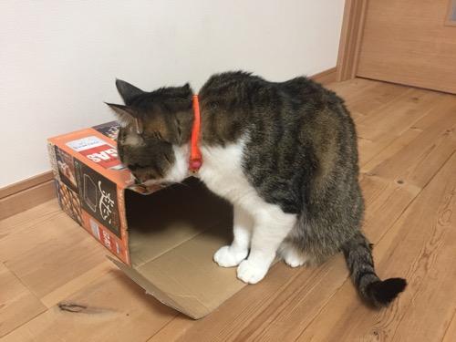 開封されたイワタニ たこ焼器の箱の中を覗き込む猫-ゆきお