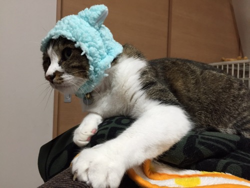 かわいいかわいいねこひつじ(ブルー)を被る猫-ゆきおを横から見た姿