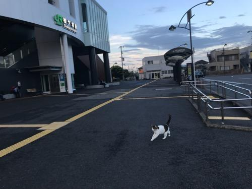 JR袖ケ浦駅前を歩く猫