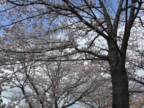 セブンスター石手店の隣の石手川沿いの桜の花の開花状況(2016年4月2日現在)