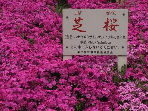柴又七丁目付近の江戸川の土手に咲く芝桜の説明用立札