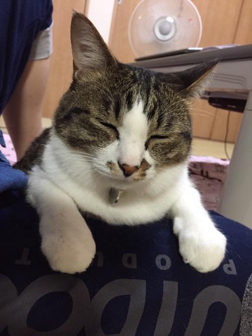 妻の膝上で両前脚を前に出して目を閉じる猫-ゆきお