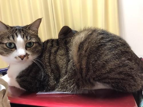 赤い東芝ノートパソコンの蓋の上に乗る猫-ゆきお(横から見た時の様子)